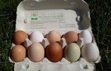 Neu: Bio-Eier unserer Vorstadthühner